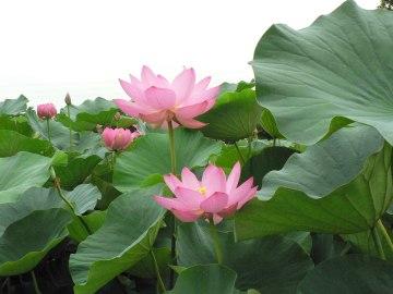 lotus_06
