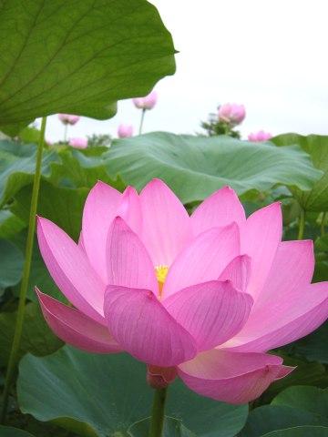 lotus_07