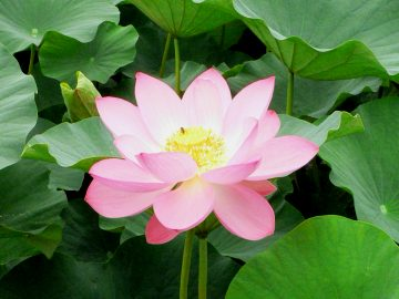 lotus_09