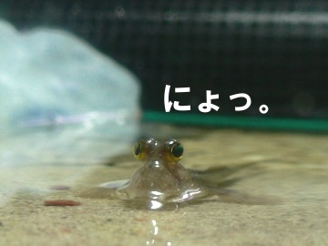 mudskipper_02