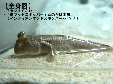mudskipper_03